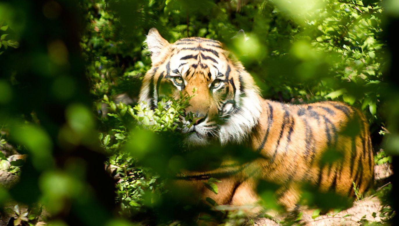 Tygrysy wróciły do parku Than Lap po 20-letniej nieobecności (fot. Pexels)