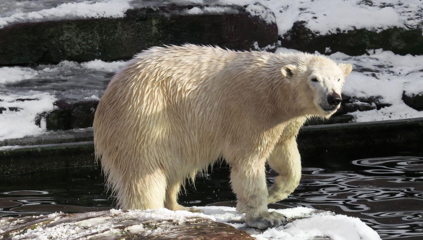 Niedźwiedź zostawił na maszynie ślady łap (fot. pixabay.com)