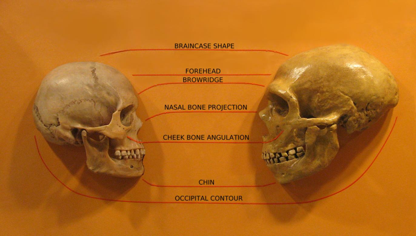 Porównanie czaszki homo sapiens z czaszką neandertalczyka (fot. en.wikipedia.org)