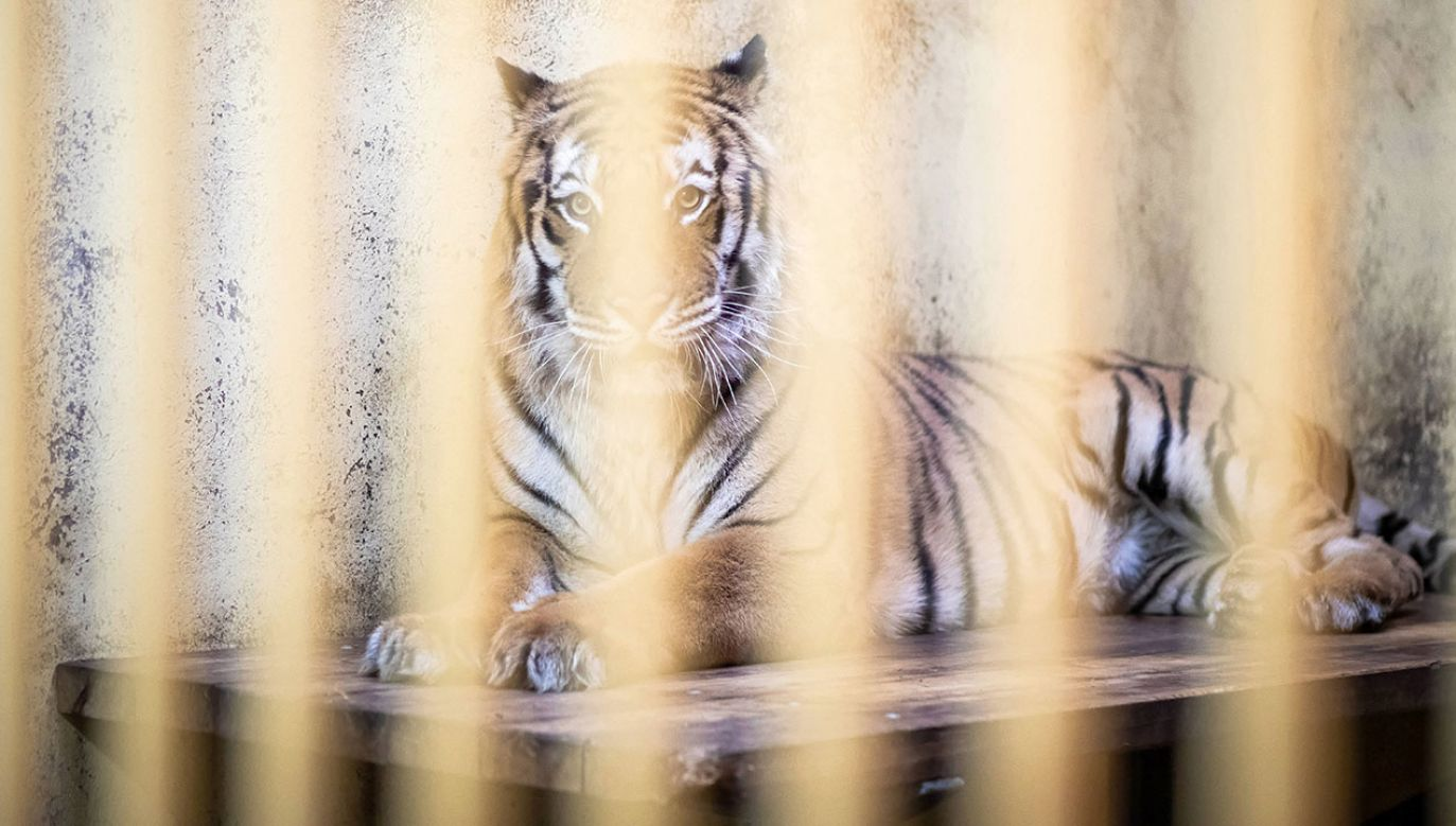 Docelowo, pięć tygrysów z poznańskiego zoo ma trafić do azylu w Hiszpanii (fot. arch. PAP/Marek Zakrzewski)