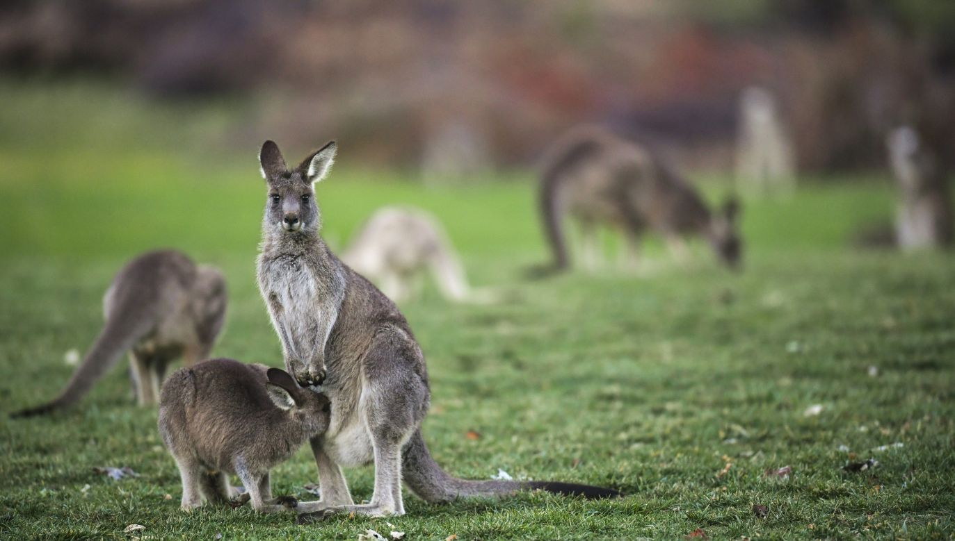 W walizce były czaszki m.in. kangurów (fot. arch. PAP/EPA/LUKAS COCH)