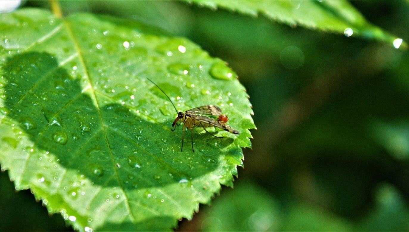 Komary potrzebują do rozmnażania stojącej wody (fot. FotoRieth/pixabay)