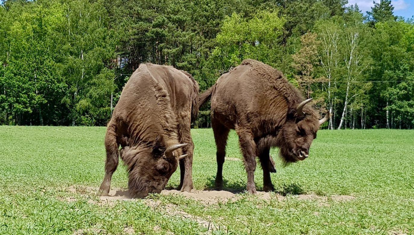 Para żubrów została uchwycona na fotografiach przez jednego z leśniczych pracujących na terenie Nadleśnictwa Bierzwnik (fot. Nadleśnictwo Bierzwnik)