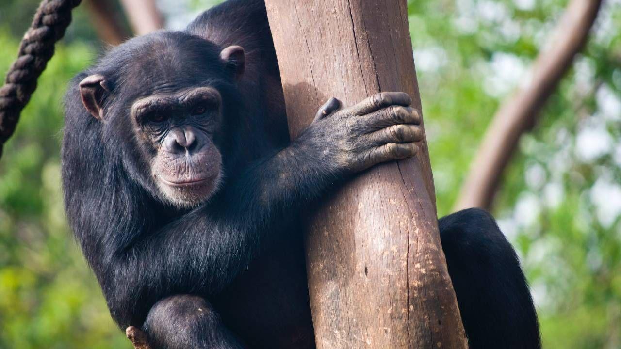 W pierwszej kolejności szczepionkę mają otrzymać między innymi szympansy (fot. Pexels)