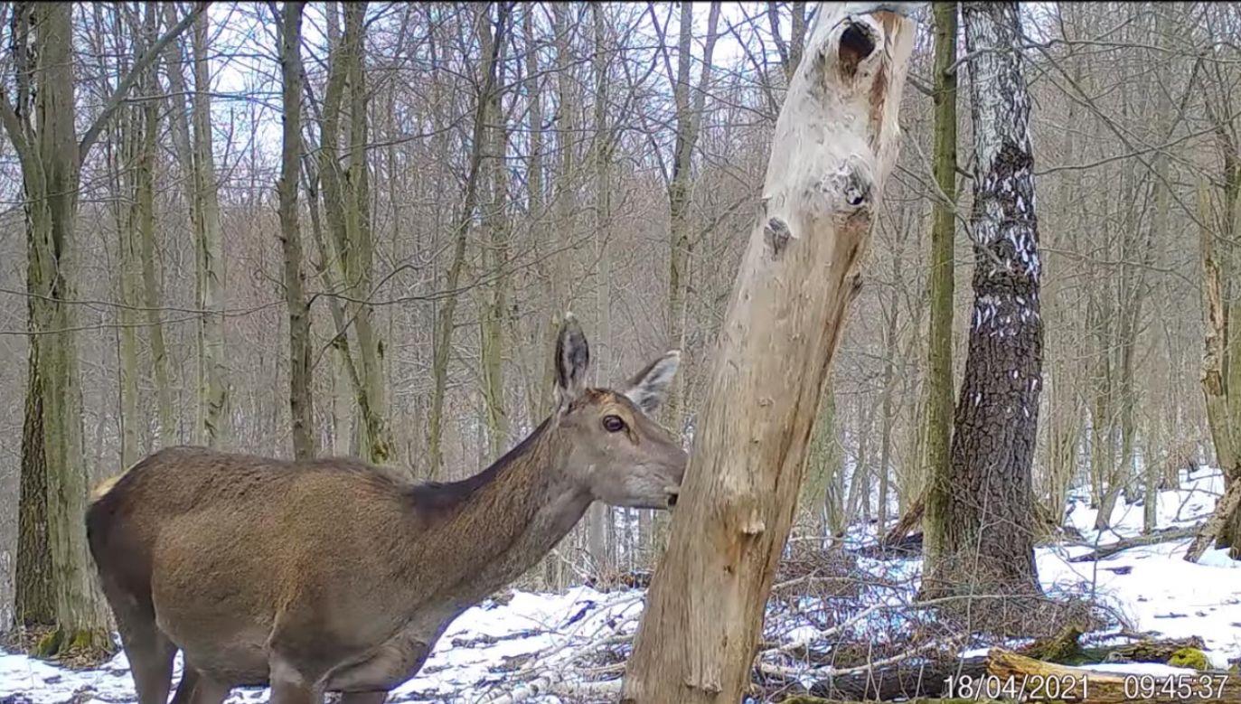 Słoną lizawkę umieszcza się w zacisznym rejonie (fot. Facebook/Nadleśnictwo Baligród, Lasy Państwowe)