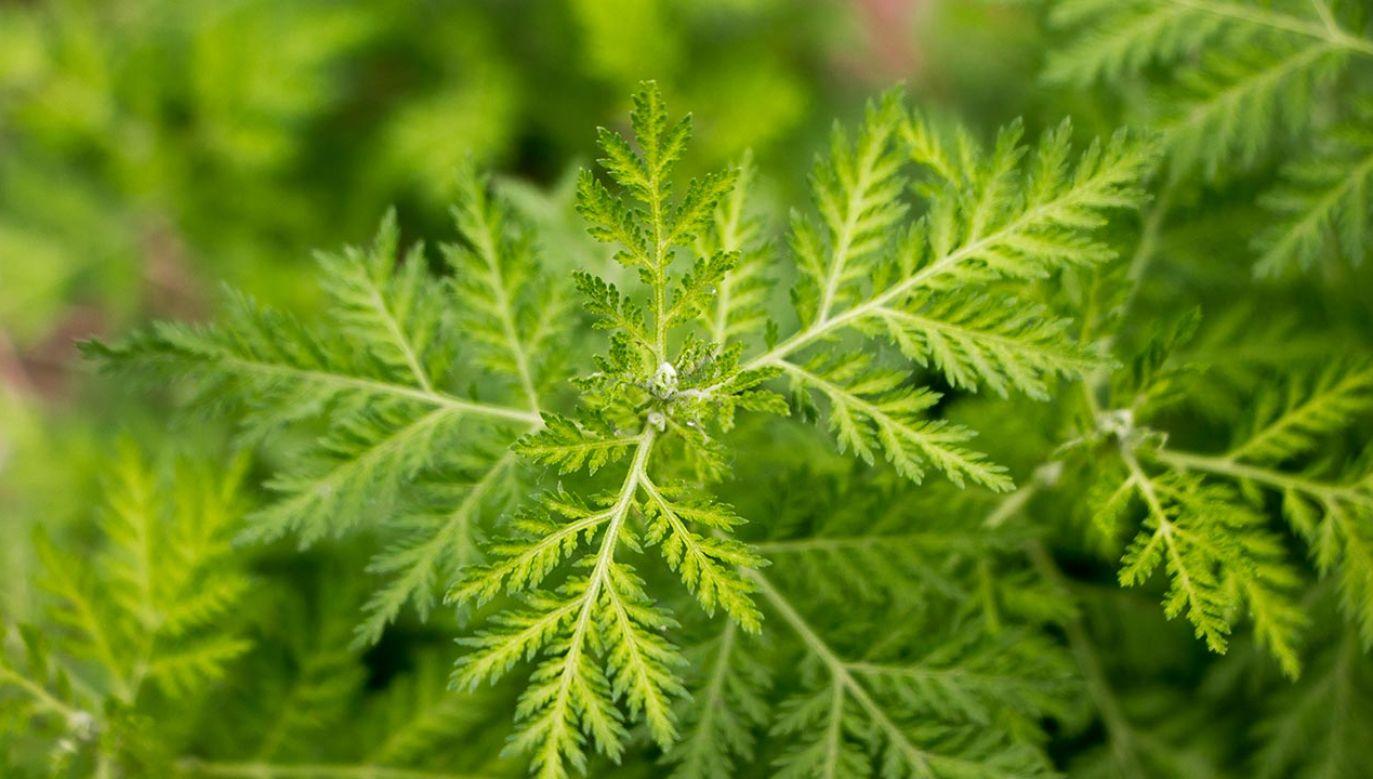 Bylica roczna (Artemisia annua) występuje głównie w Azji, Ameryce Południowej i w Europie (fot. Shutterstock/JiaCheng Zhao)
