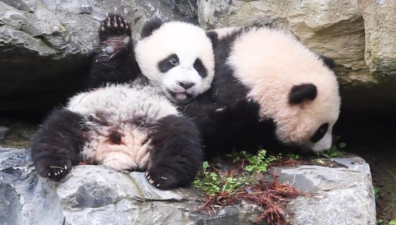 Zwiedzający będą mogli zobaczyć młode pandy od 21 marca (fot. ZZEBU - NEWS SOCIAL)