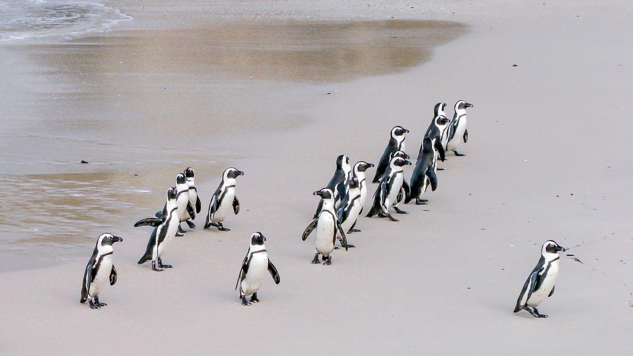 Śmierć pingwinów w RPA (fot.pixabay.com)