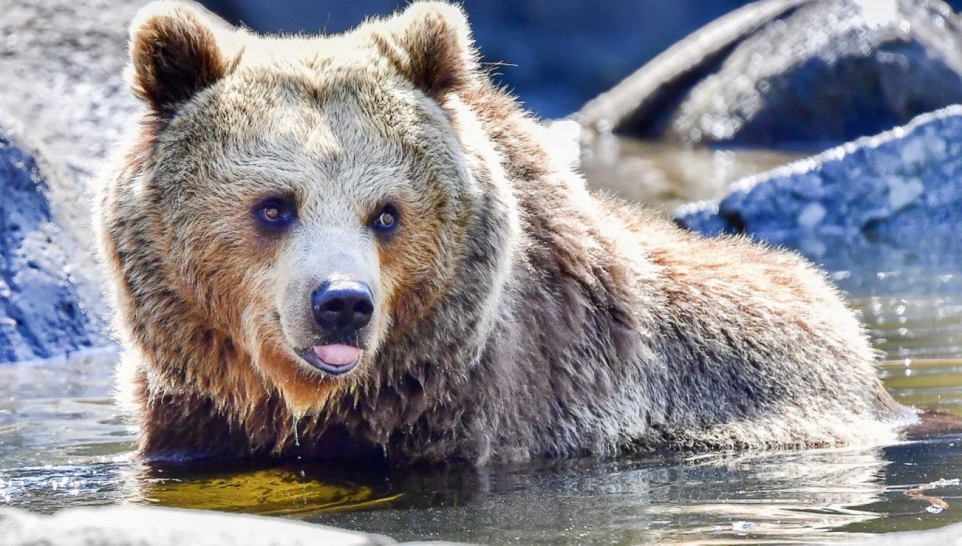 Zwierzę zaatakowało spacerujących turystów na szlaku (fot. PAP/EPA/Jonas Ekstromer, zdjęcie ilustracyjne)