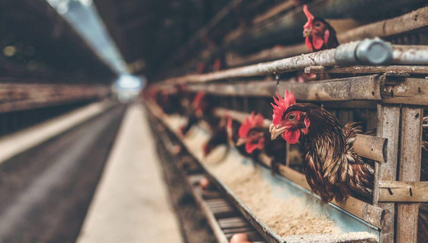 Polska jest czołowym producentem drobiu w UE (fot. Pexels)