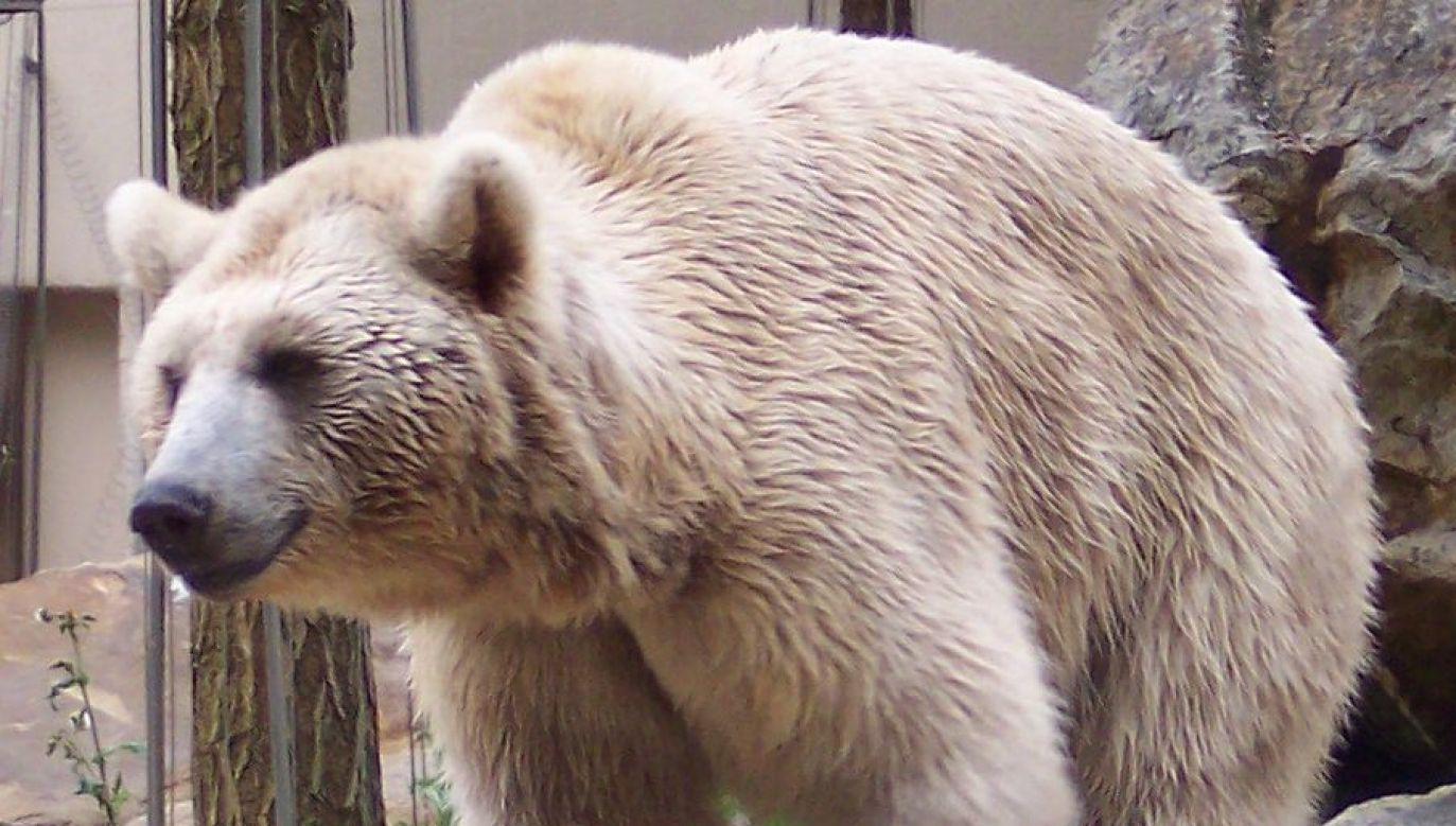 Syrian brown bear. Photo: Wikimedia Commons