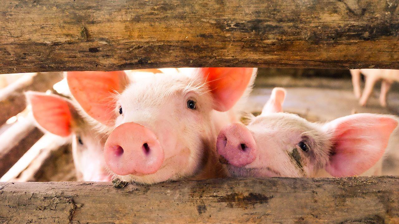 Zespół eksperymentował na świniach (fot. Shutterstock/chadin0)