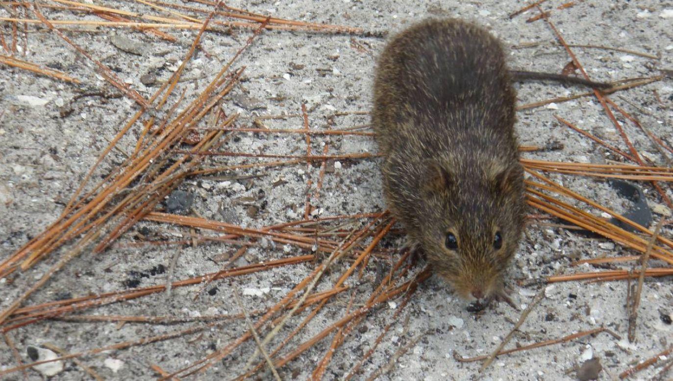 Do zakażenia dżumą dochodzi zwykle w wyniku pokąsania przez szczurze pchły (fot. Pixabay/toniziegler)