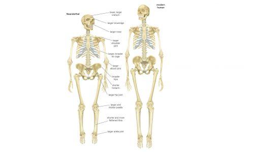 Szkielet neandertalczyka (Homo Neanderthalensis) w porównaniu ze szkieletem współczesnego człowieka (Homo Sapiens Sapiens). Fot: Encyclopaedia Britannica / UIG Via Getty Images