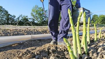 Za naszązachodnią granicą rozpoczyna się sezon na szparagi (fot. Shutterstock)