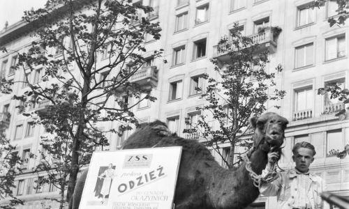 1954. Plac Konstytucji, wielbłąd z planszą reklamującą sklep odzieżowy mieszczący się na Bazarze Różyckiego. Fot. PAP/Bolesław Miedza