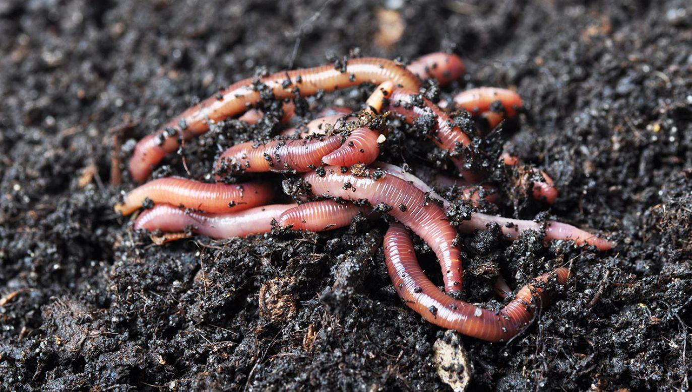 Dżdżownice napowietrzają glebę i rozkładają materię organiczną (fot. Shutterstock/wawritto)