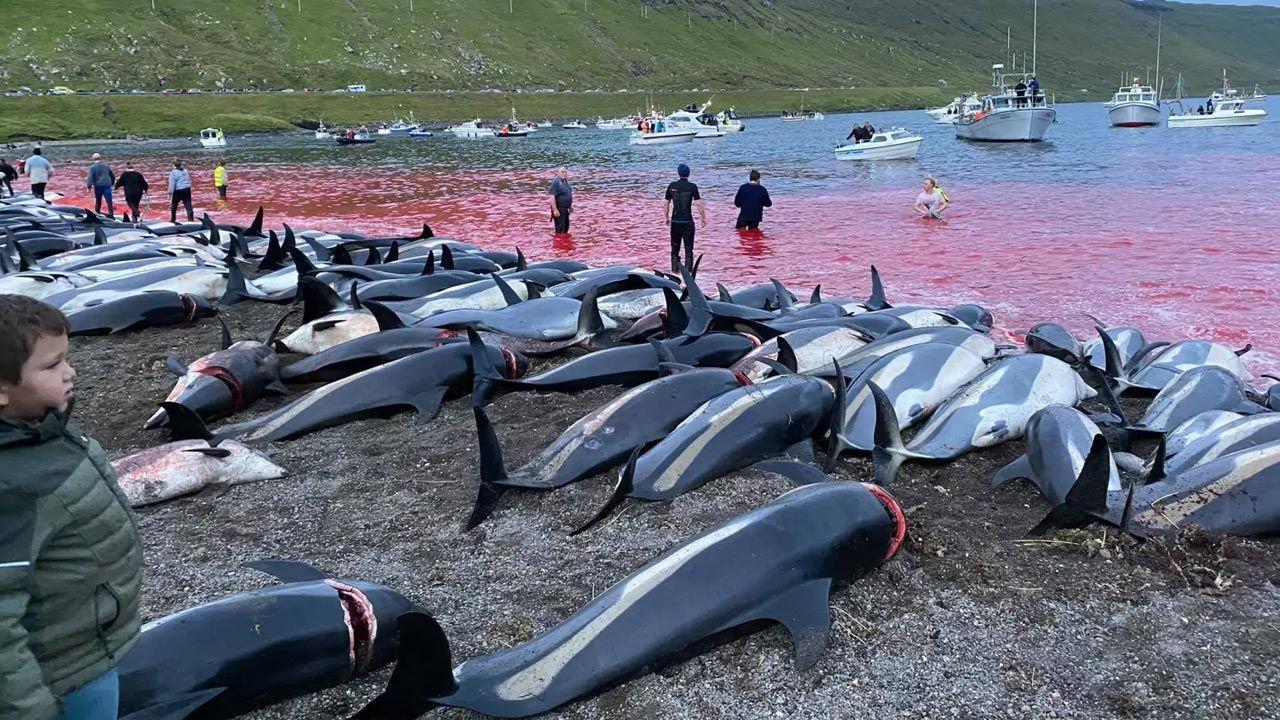 Delfiny leżały w mękach przez wiele godzin, zanim zostały dobite (fot. seashepherd.org)