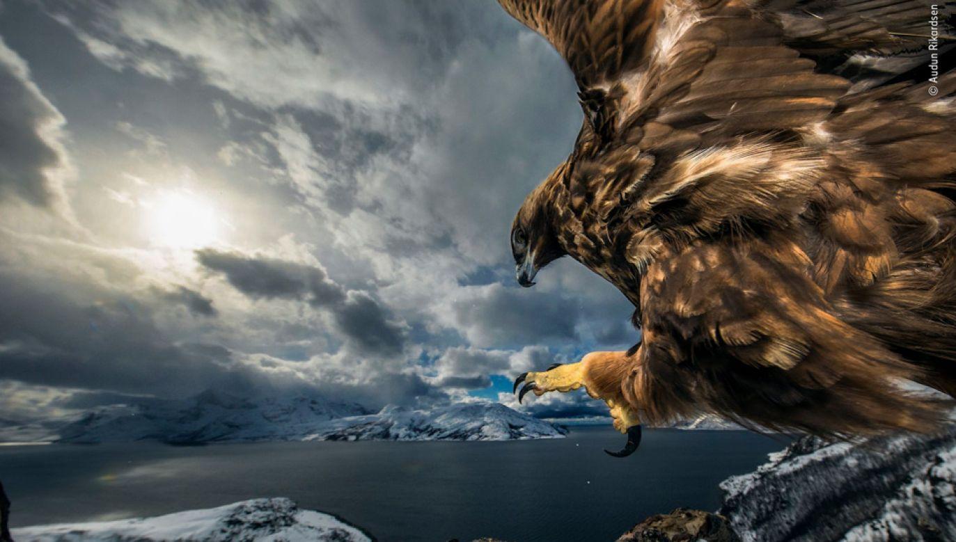 Audun Rikardsen cierpliwie czekał na dobry kadr (fot. TT/Wildlife Photographer of the Year/Audun Rikardsen)