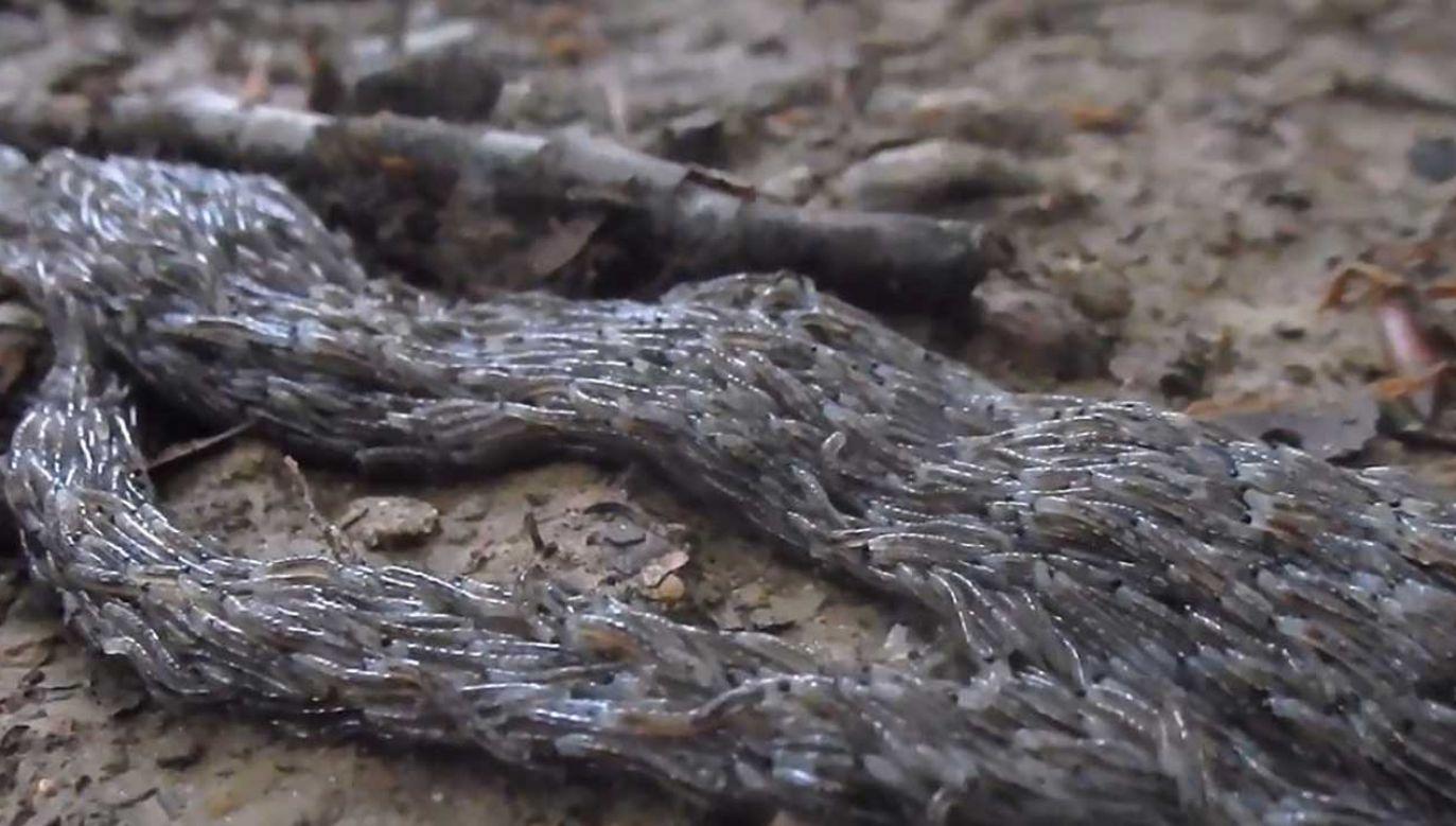 Pleń składa się z tysięcy larw muchówki z gatunku ziemiórki pleniówki (fot. FB/Roman Pasionek/Nadleśnictwo Baligród, Lasy Państwowe)